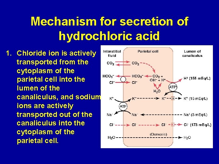Mechanism for secretion of hydrochloric acid 1. Chloride ion is actively transported from the