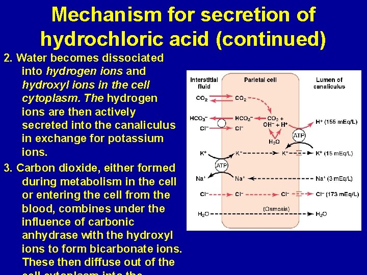 Mechanism for secretion of hydrochloric acid (continued) 2. Water becomes dissociated into hydrogen ions