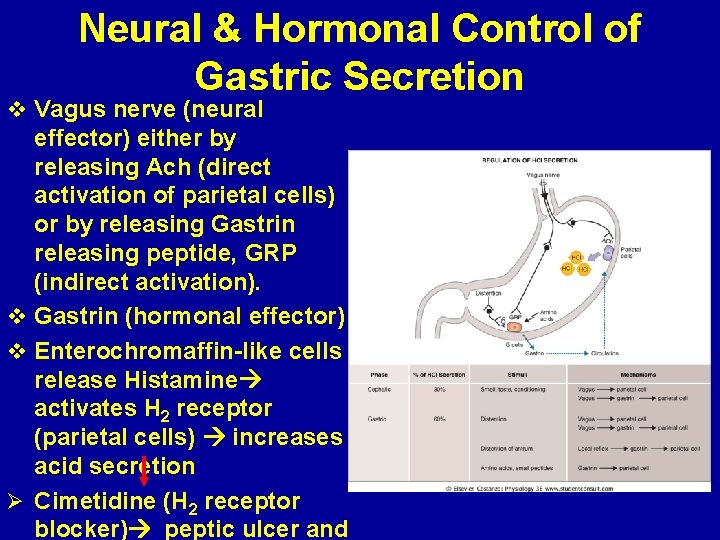 Neural & Hormonal Control of Gastric Secretion v Vagus nerve (neural effector) either by