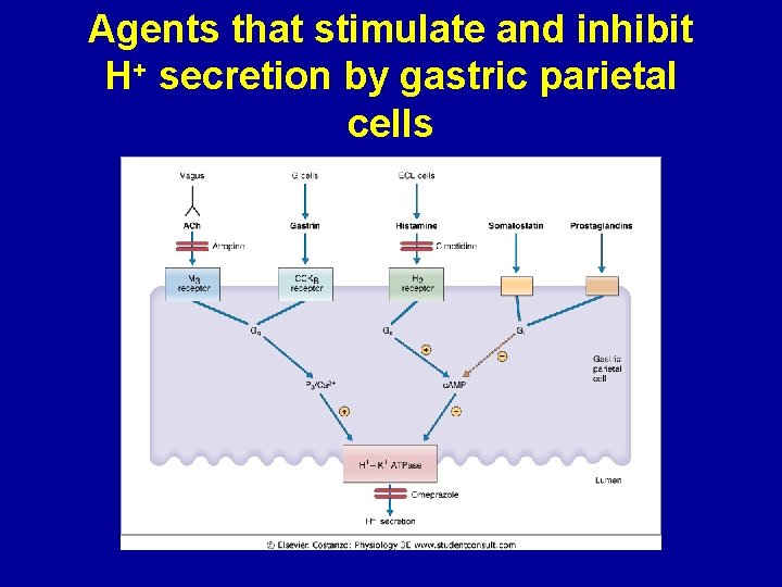 Agents that stimulate and inhibit H+ secretion by gastric parietal cells