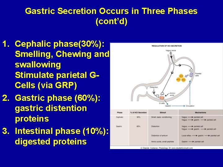 Gastric Secretion Occurs in Three Phases (cont'd) 1. Cephalic phase(30%): Smelling, Chewing and swallowing