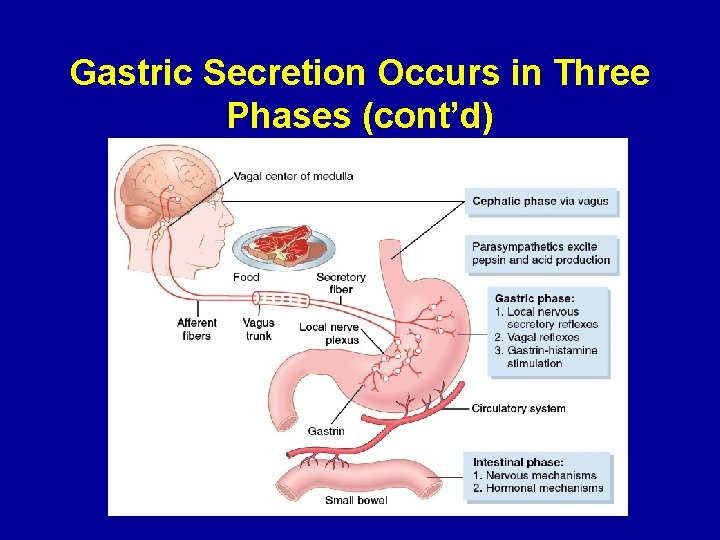 Gastric Secretion Occurs in Three Phases (cont'd)