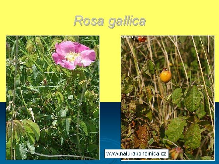 Rosa gallica www. naturabohemica. cz