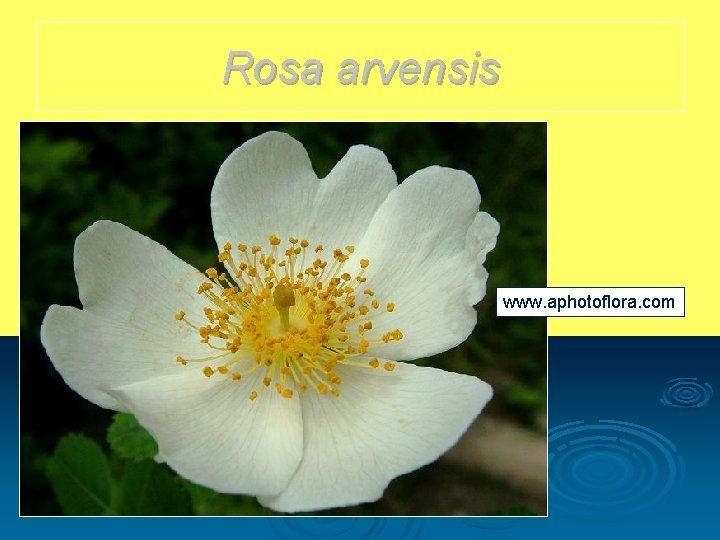 Rosa arvensis www. aphotoflora. com