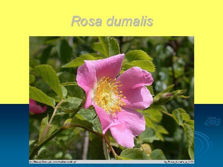 Rosa dumalis