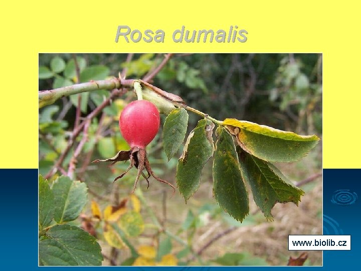 Rosa dumalis www. biolib. cz