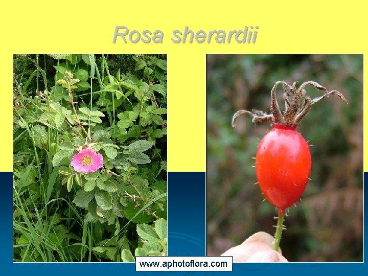 Rosa sherardii www. aphotoflora. com