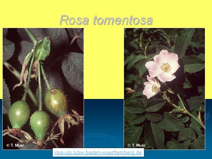 Rosa tomentosa rips-uis. lubw. baden-wuerttemberg. de