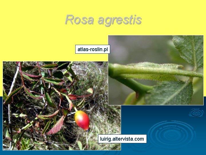 Rosa agrestis atlas-roslin. pl luirig. altervista. com
