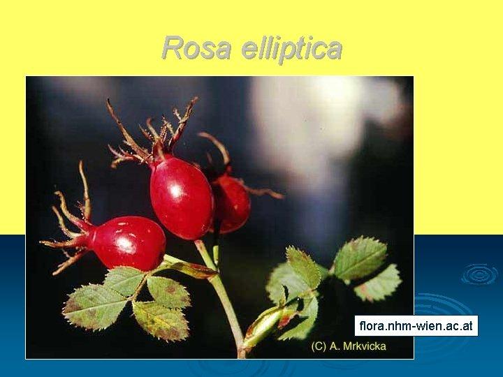 Rosa elliptica flora. nhm-wien. ac. at