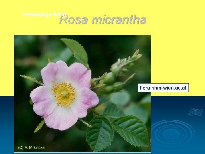 Kleinblütige Rosa micrantha flora. nhm-wien. ac. at