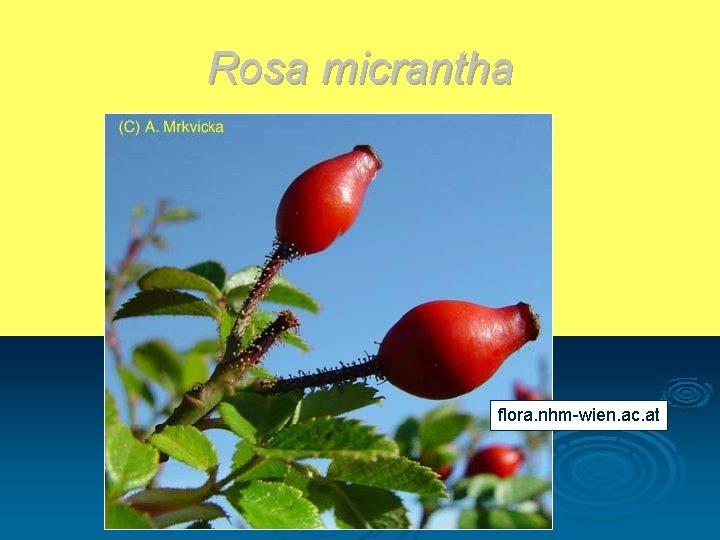 Rosa micrantha flora. nhm-wien. ac. at