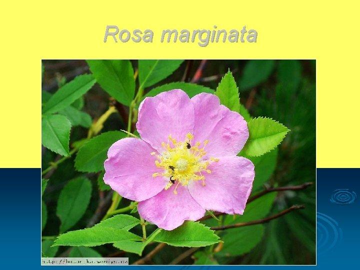 Rosa marginata