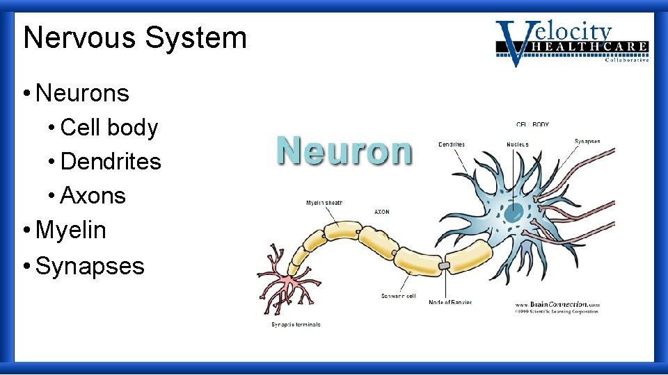 Nervous System • Neurons • Cell body • Dendrites • Axons • Myelin •
