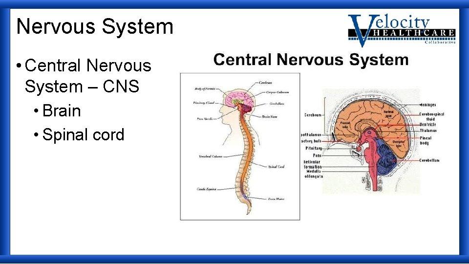 Nervous System • Central Nervous System – CNS • Brain • Spinal cord