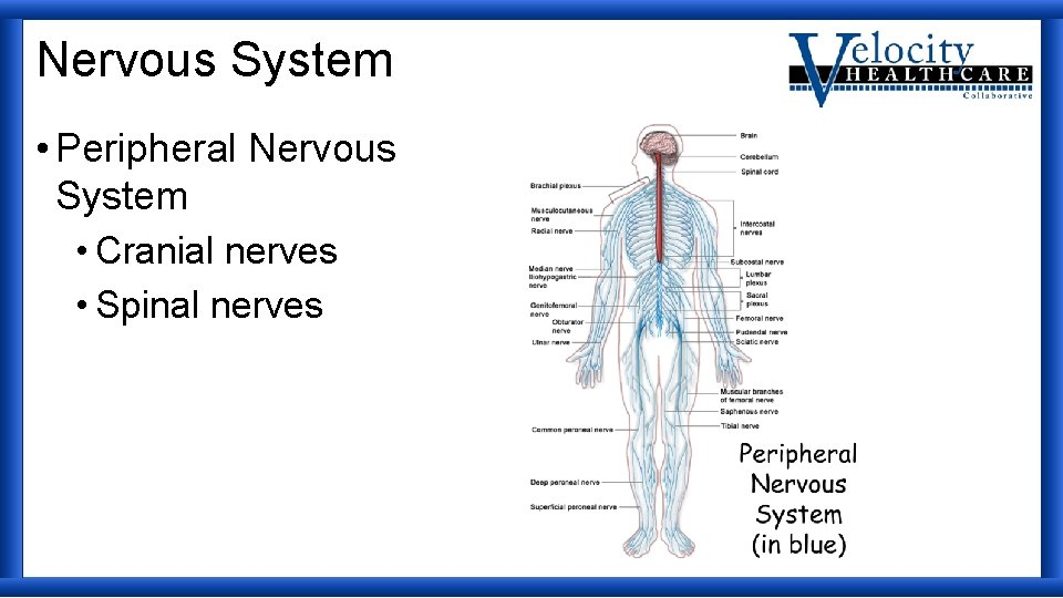 Nervous System • Peripheral Nervous System • Cranial nerves • Spinal nerves