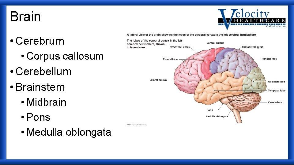 Brain • Cerebrum • Corpus callosum • Cerebellum • Brainstem • Midbrain • Pons