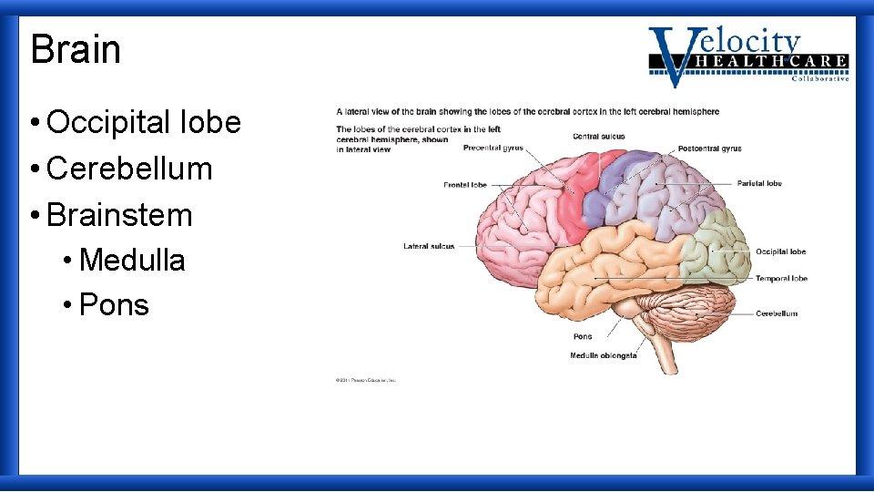 Brain • Occipital lobe • Cerebellum • Brainstem • Medulla • Pons