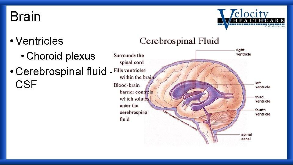 Brain • Ventricles • Choroid plexus • Cerebrospinal fluid CSF