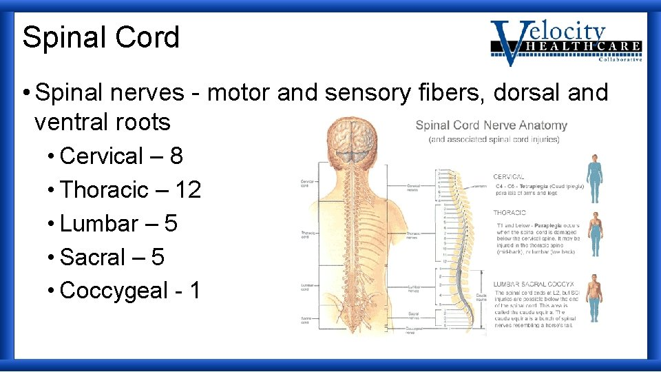 Spinal Cord • Spinal nerves - motor and sensory fibers, dorsal and ventral roots
