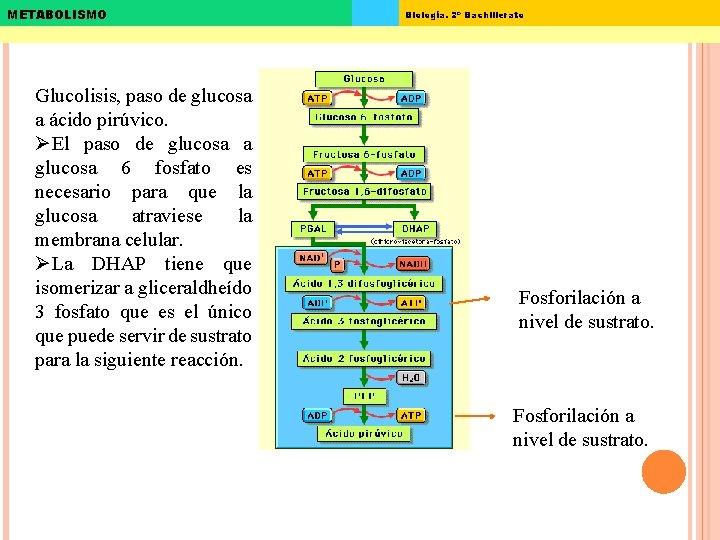 METABOLISMO Glucolisis, paso de glucosa a ácido pirúvico. ØEl paso de glucosa a glucosa