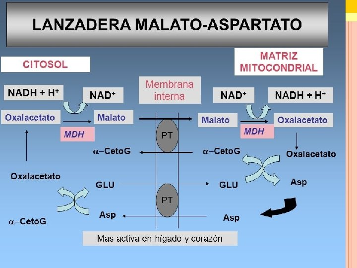 METABOLISMO Biología. 2º Bachillerato