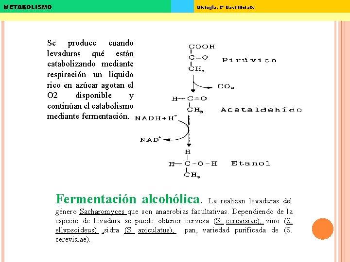 METABOLISMO Biología. 2º Bachillerato Se produce cuando levaduras qué están catabolizando mediante respiración un