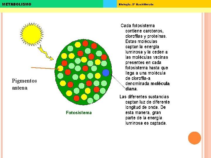 METABOLISMO Pigmentos antena Biología. 2º Bachillerato