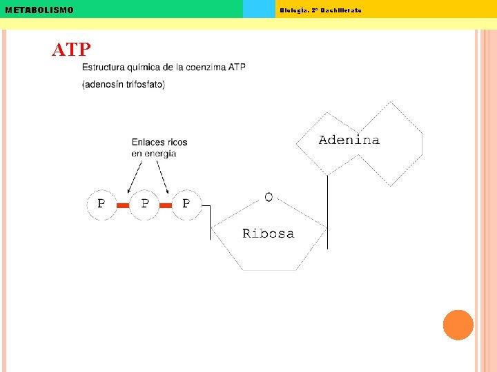 METABOLISMO ATP Biología. 2º Bachillerato