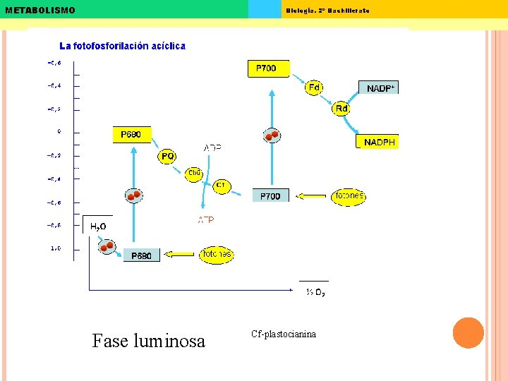 METABOLISMO Biología. 2º Bachillerato Fase luminosa Cf-plastocianina