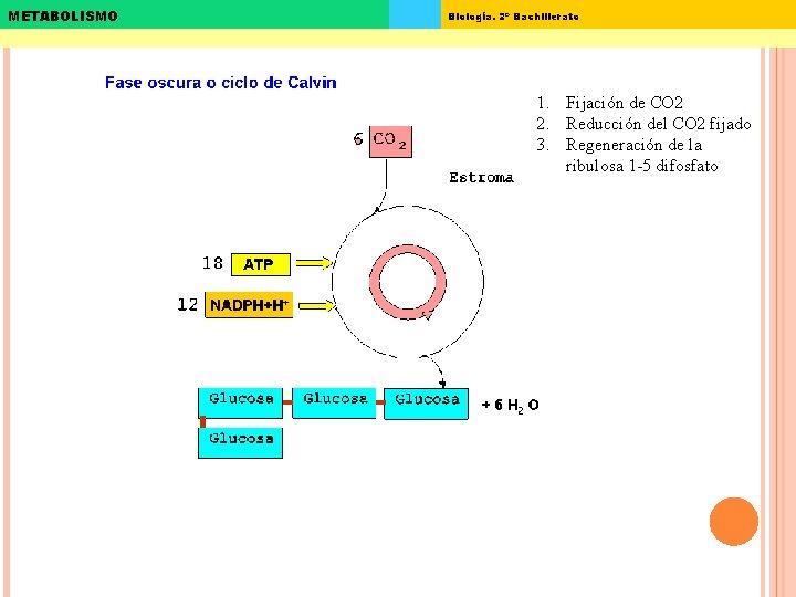 METABOLISMO Biología. 2º Bachillerato 1. Fijación de CO 2 2. Reducción del CO 2