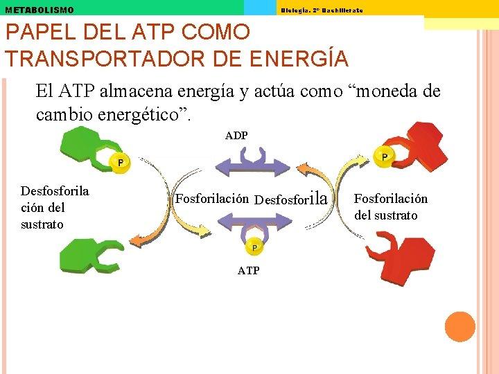 METABOLISMO Biología. 2º Bachillerato PAPEL DEL ATP COMO TRANSPORTADOR DE ENERGÍA El ATP almacena
