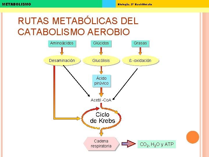 METABOLISMO Biología. 2º Bachillerato RUTAS METABÓLICAS DEL CATABOLISMO AEROBIO Aminoácidos Glúcidos Grasas Desaminación Glucólisis