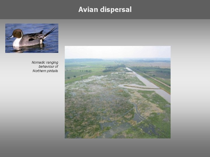Avian dispersal Nomadic ranging behaviour of Northern pintails