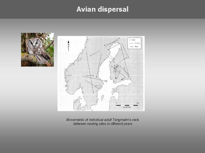 Avian dispersal Movements of individual adult Tengmalm's owls between nesting sites in different years