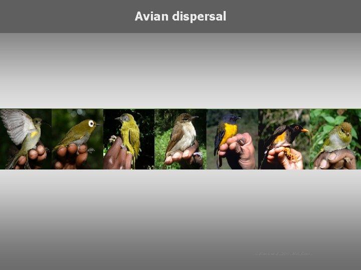 Avian dispersal Callens et al. 2011, Mol. Ecol.
