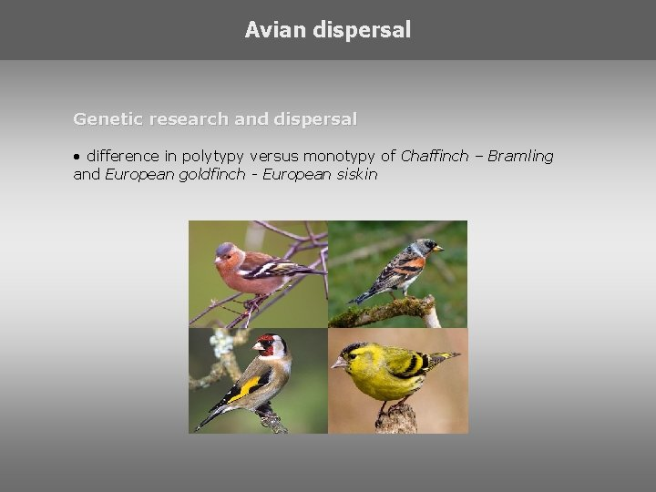 Avian dispersal Genetic research and dispersal • difference in polytypy versus monotypy of Chaffinch
