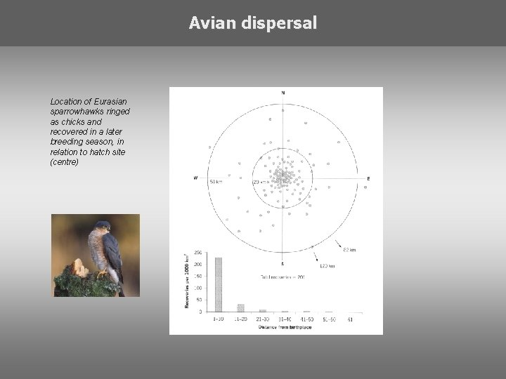Avian dispersal Location of Eurasian sparrowhawks ringed as chicks and recovered in a later
