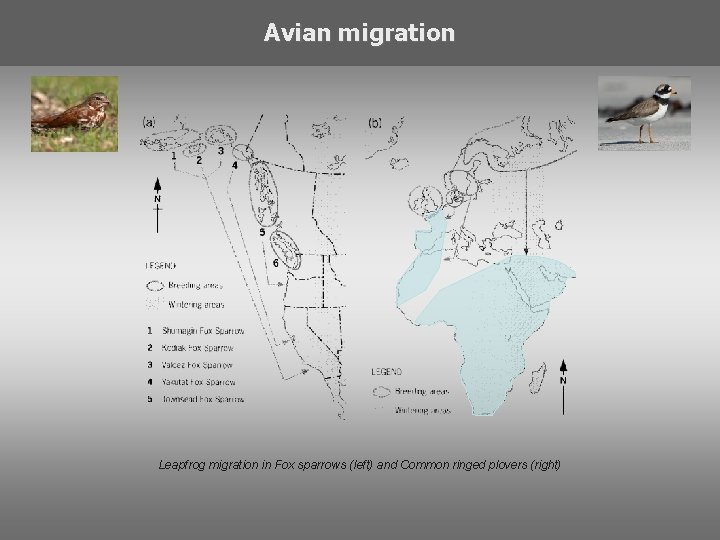 Avian migration Leapfrog migration in Fox sparrows (left) and Common ringed plovers (right)