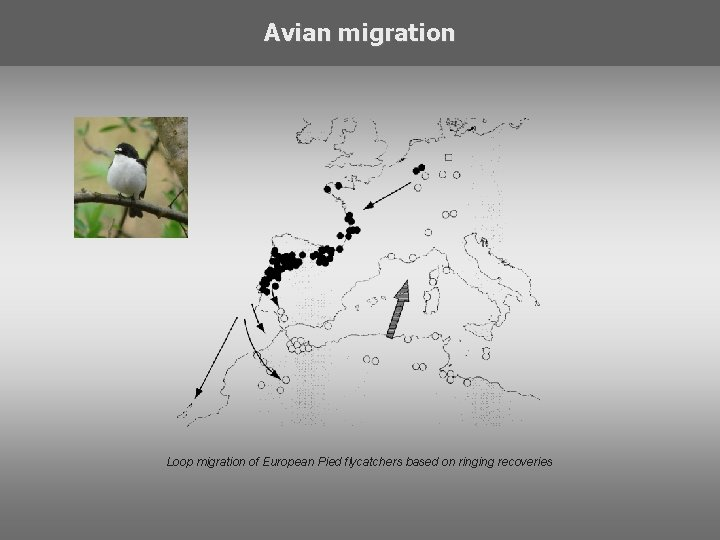 Avian migration Loop migration of European Pied flycatchers based on ringing recoveries