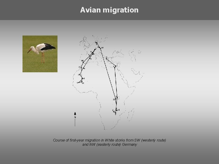 Avian migration Course of first-year migration in White storks from SW (westerly route) and