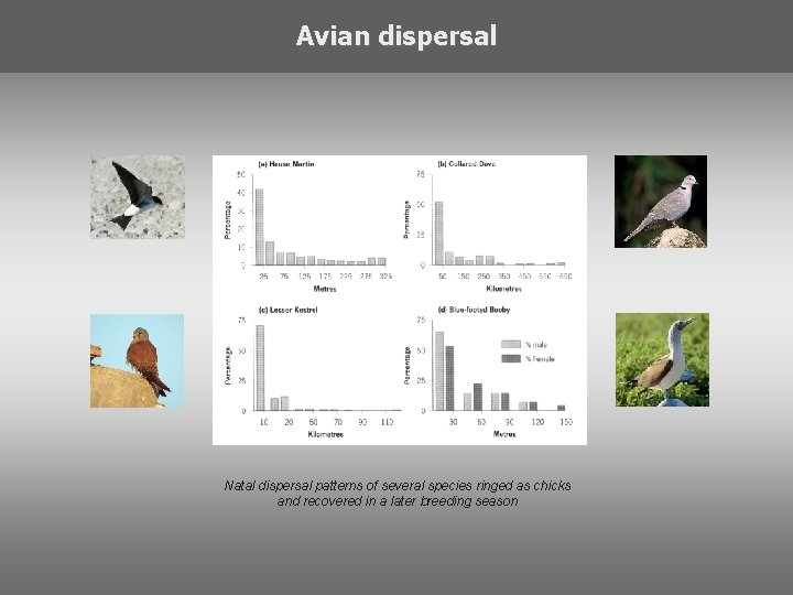 Avian dispersal Natal dispersal patterns of several species ringed as chicks and recovered in