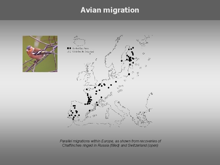 Avian migration Parallel migrations within Europe, as shown from recoveries of Chaffinches ringed in