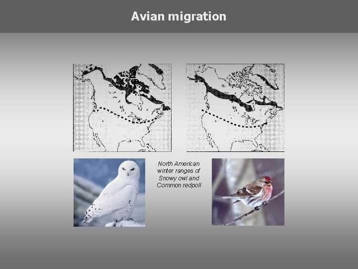 Avian migration North American winter ranges of Snowy owl and Common redpoll