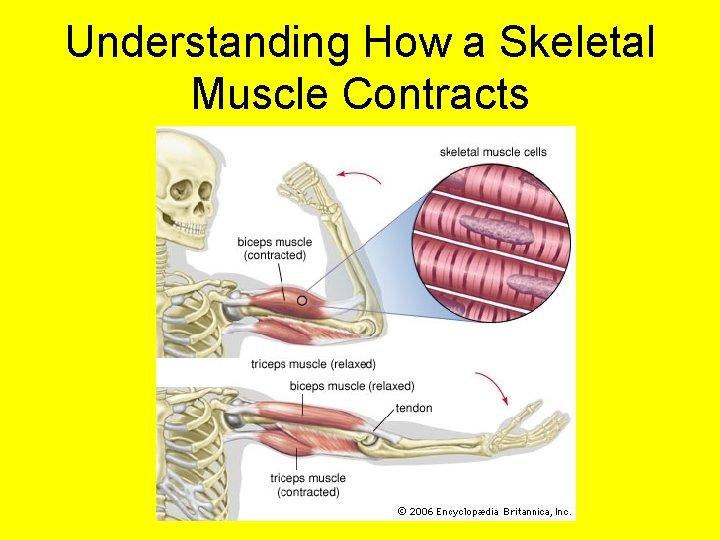 Understanding How a Skeletal Muscle Contracts