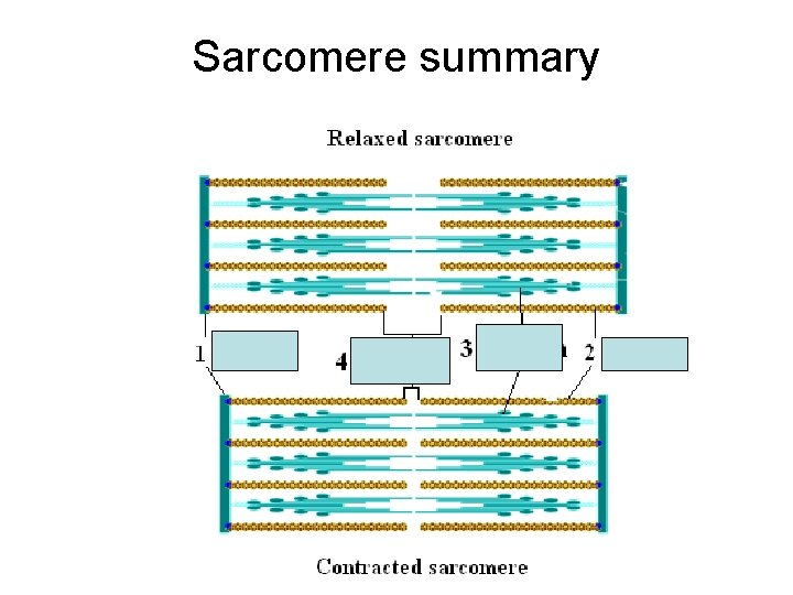 Sarcomere summary