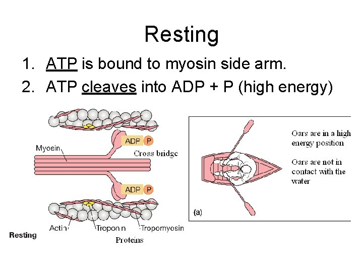 Resting 1. ATP is bound to myosin side arm. 2. ATP cleaves into ADP