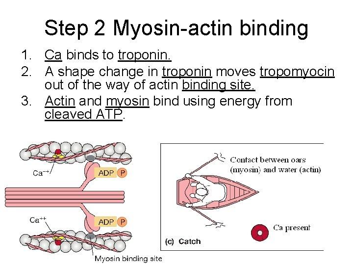 Step 2 Myosin-actin binding 1. Ca binds to troponin. 2. A shape change in