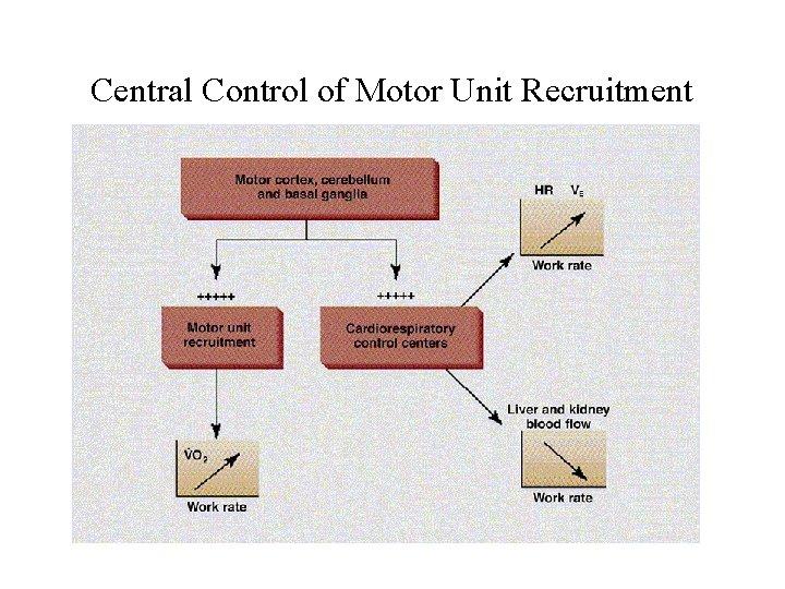 Central Control of Motor Unit Recruitment