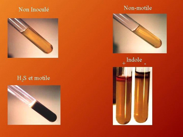 Non Inoculé Non-motile + H 2 S et motile Indole -